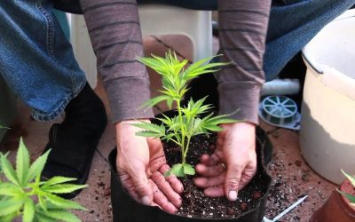 Grow Cannabis – What a difference a pot makes… – by Jorge Cervantes