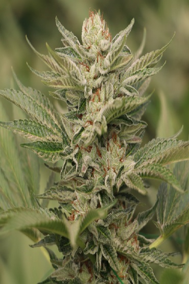 Sapphire Scout Humboldt Seeds